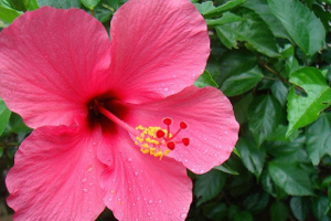 Hibiscus_feature